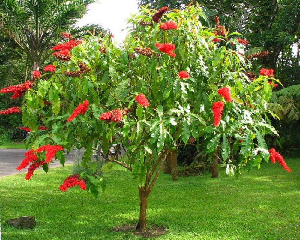 Warszewiczia coccinea 'Macaw's Tail'
