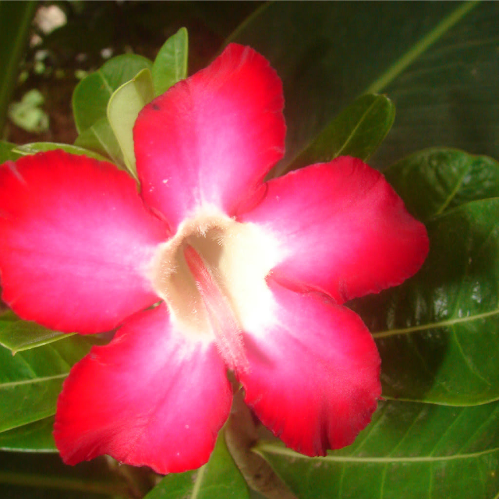 Adenium up for bid