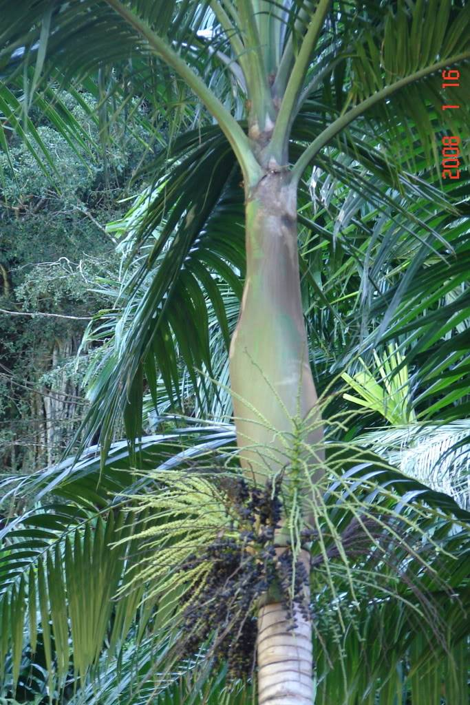 This handsome feather palm tree with prominent crownshaft and swollen base to the trunk, is often grown in tropical areas for its ornamental presence.