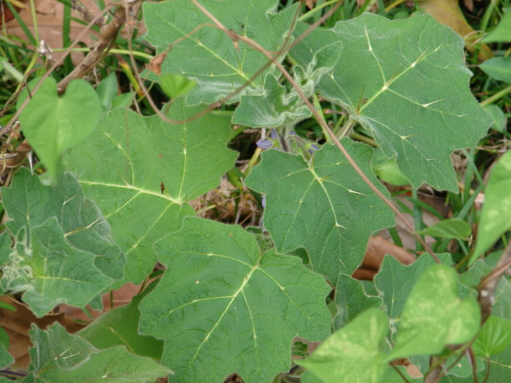 The attractive thorned leaves are large, lobed and tropical looking.
