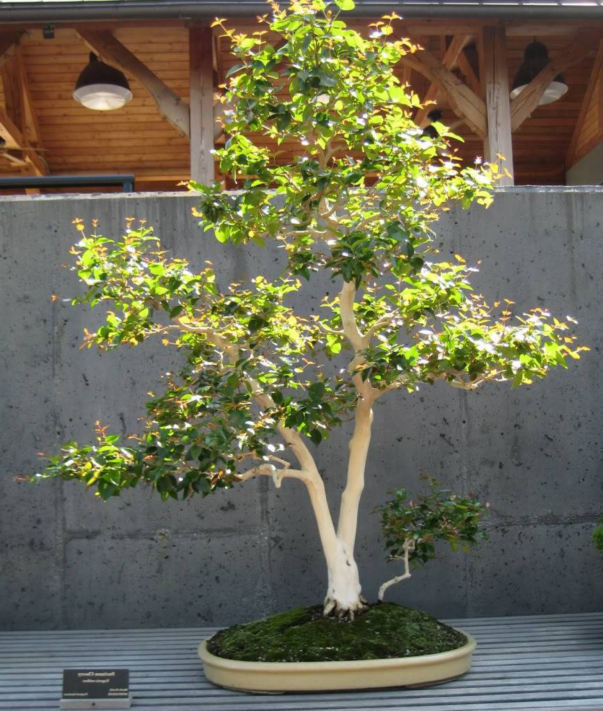 Polynesian produce stand live exotic surinam cherry for Cherry trees for sale